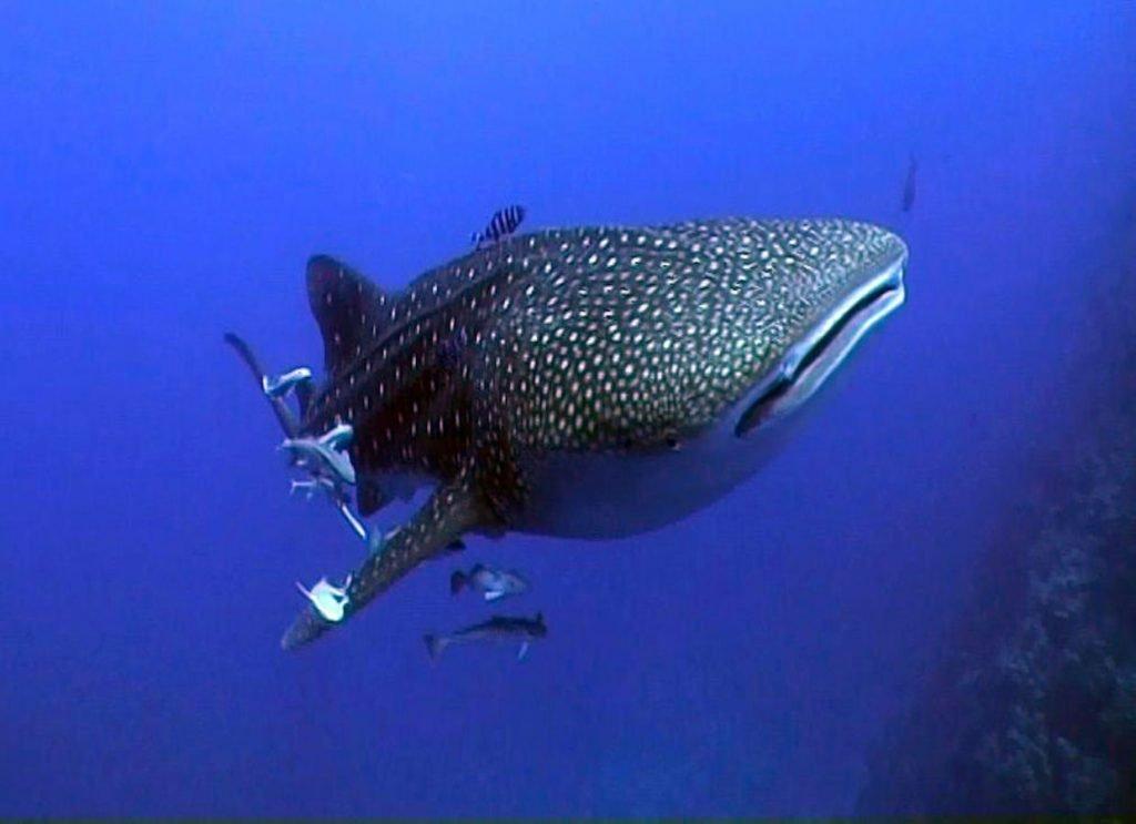 Jackson Reef – Red Sea Diving Sharm El Sheikh Dive Sites